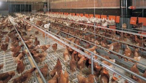 crestas de gallo acido hialurónico